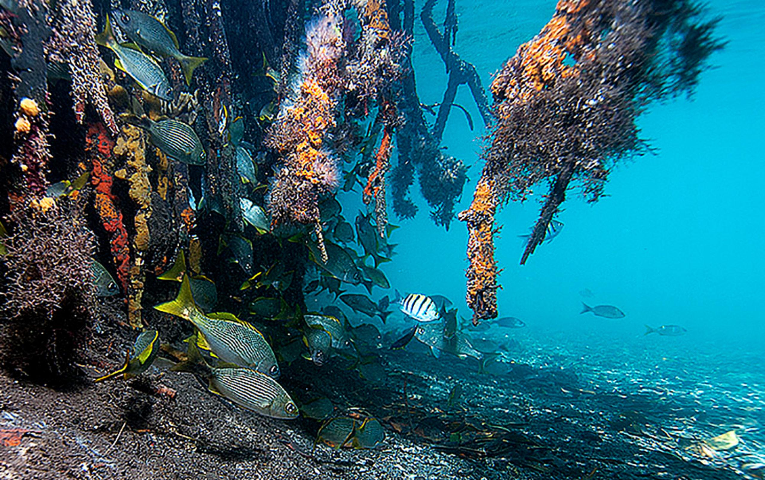 Mangrove unter Wasser